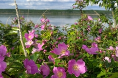 Wild roses along the McKenzie river